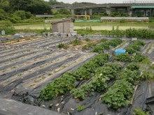 耕作放棄地を剣先スコップで畑に開拓!有機肥料を使い農薬無しで野菜を栽培する週2日の農作業記録 byウッチー-130625ウッチー式・今日の農作業の出来栄え06