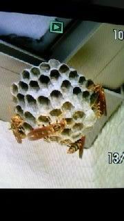 イー☆ちゃん(マリア)オフィシャルブログ 「大好き日本」 Powered by Ameba-蜂の巣0001.jpg