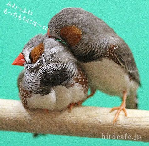 ようこそ!とりみカフェ!!~鳥カフェでの出来事や鳥写真~-もっふもふ準備中キンカチョウ♪
