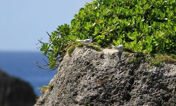$風の竜馬の鳥見隊(とりみた~い)-2エリグロアジサシ