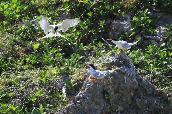 $風の竜馬の鳥見隊(とりみた~い)-2ベニアジサシ