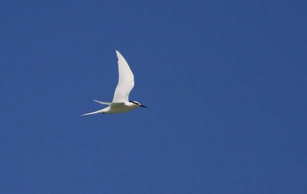 $風の竜馬の鳥見隊(とりみた~い)-1エリグロアジサシ