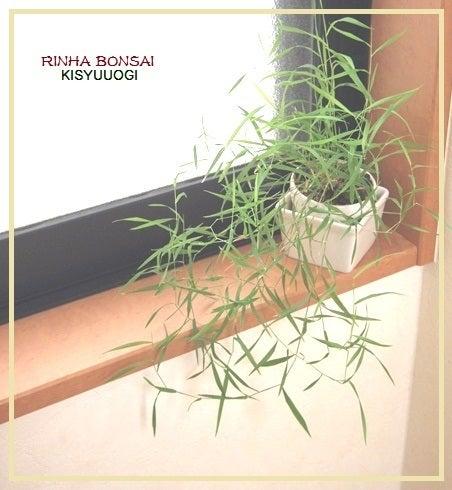 bonsai life      -盆栽のある暮らし- 東京の盆栽教室 琳葉(りんは)盆栽 RINHA BONSAI-紀州オギ 琳葉盆栽