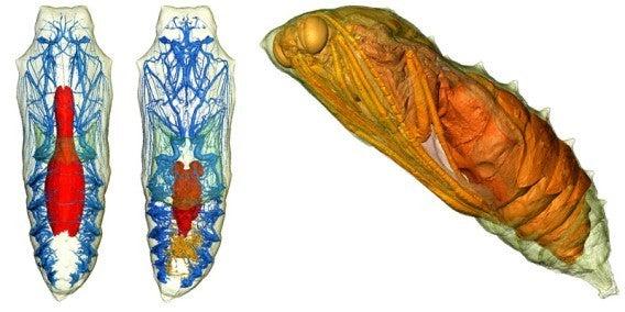 変態 蛹 幼虫組織