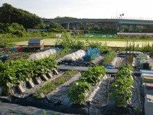耕作放棄地を剣先スコップで畑に開拓!有機肥料を使い農薬無しで野菜を栽培する週2日の農作業記録 byウッチー-130701ウッチー式・今日の農作業の出来栄え03