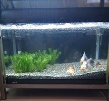 ♪ベランダ金魚♪-60水槽