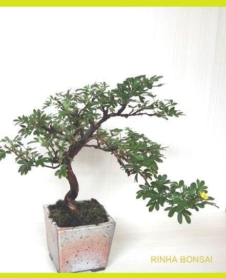 bonsai life      -盆栽のある暮らし- 東京の盆栽教室 琳葉(りんは)盆栽 RINHA BONSAI-キンロバイ 盆栽 金露梅 琳葉盆栽