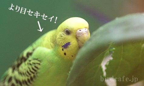 ようこそ!とりみカフェ!!~鳥カフェでの出来事や鳥写真~-より目セキセイ!