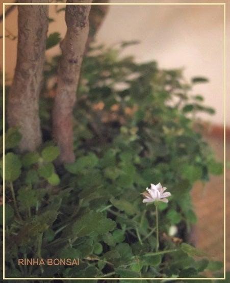 bonsai life      -盆栽のある暮らし- 東京の盆栽教室 琳葉(りんは)盆栽 RINHA BONSAI-琳葉盆栽 八重姫フウロソウ