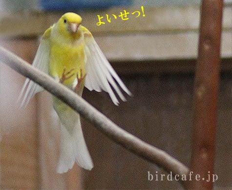 ようこそ!とりみカフェ!!~鳥カフェでの出来事や鳥写真~-よいやせっ!とカナリア