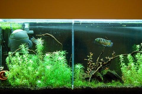 アピストグラマと水草と      apistogrammas and waterplants-セパレート