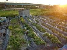 耕作放棄地を剣先スコップで畑に開拓!有機肥料を使い農薬無しで野菜を栽培する週2日の農作業記録 byウッチー-130708ウッチー式・今日の農作業の出来栄え04