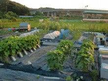耕作放棄地を剣先スコップで畑に開拓!有機肥料を使い農薬無しで野菜を栽培する週2日の農作業記録 byウッチー-130708ウッチー式・今日の農作業の出来栄え03