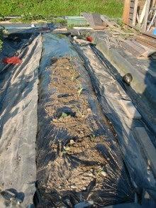 耕作放棄地を剣先スコップで畑に開拓!有機肥料を使い農薬無しで野菜を栽培する週2日の農作業記録 byウッチー-130708サツマイモあいこまち0618植分苗取定植06