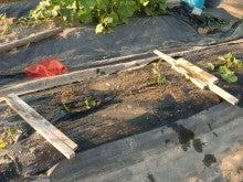 耕作放棄地を剣先スコップで畑に開拓!有機肥料を使い農薬無しで野菜を栽培する週2日の農作業記録 byウッチー-130709サツマイモあいこまち0618植分苗取定植08