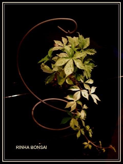 bonsai life      -盆栽のある暮らし- 東京の盆栽教室 琳葉(りんは)盆栽 RINHA BONSAI-アメリカツタ 苔玉 琳葉盆栽