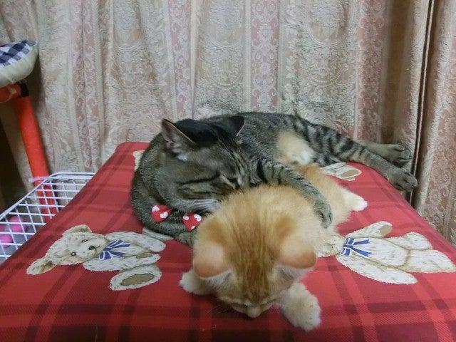ロシアン・シャム柄・メインクーン・トラッこもね♪ 「ネコとぐうたら日記」