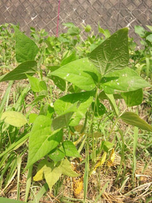 炭素循環農法と自然農法組み合わせてやりたいな~~-DSC_0289.JPG
