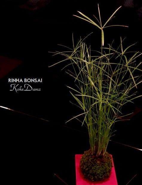 bonsai life      -盆栽のある暮らし- 東京の盆栽教室 琳葉(りんは)盆栽 RINHA BONSAI-ミニシペラス 苔玉 琳葉盆栽