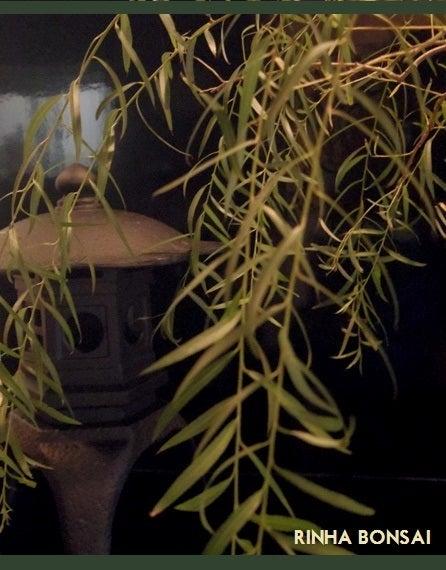 bonsai life      -盆栽のある暮らし- 東京の盆栽教室 琳葉(りんは)盆栽 RINHA BONSAI-琳葉盆栽 柳