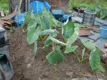 耕作放棄地を剣先スコップで畑に開拓!有機肥料を使い農薬無しで野菜を栽培する週2日の農作業記録 byウッチー-130715里芋専用畝2の土寄せ畝間施肥敷きワラ03