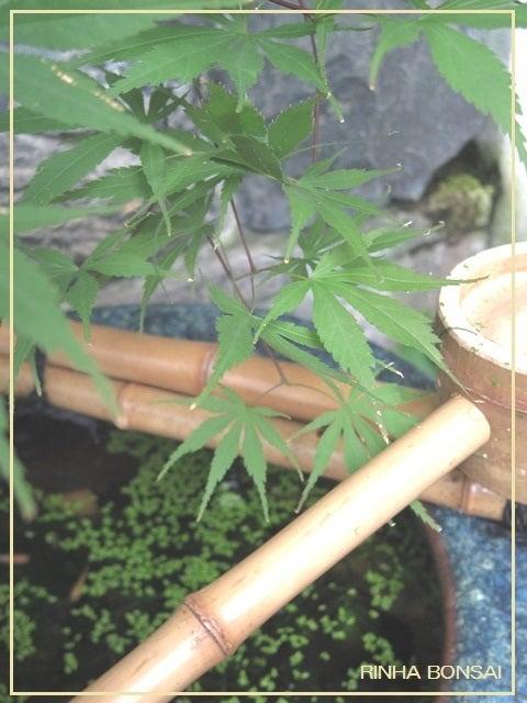 bonsai life      -盆栽のある暮らし- 東京の盆栽教室 琳葉(りんは)盆栽 RINHA BONSAI-琳葉盆栽 めだか