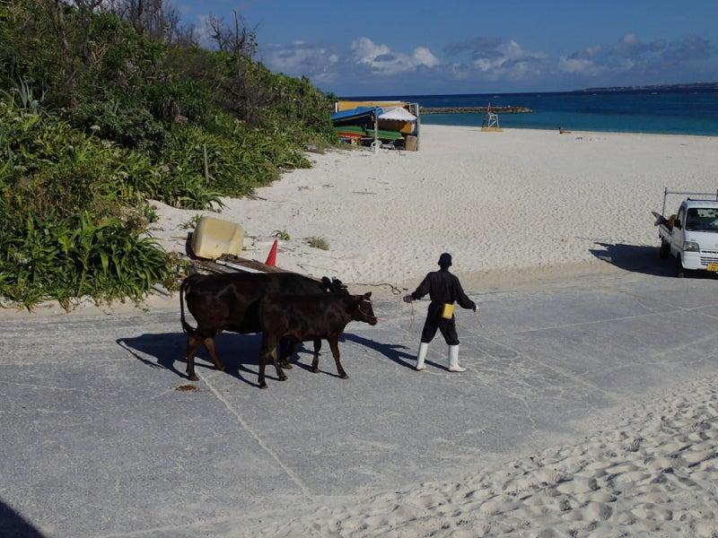 歩き人ふみの徒歩世界旅行 日本・台湾編-散歩する牛達