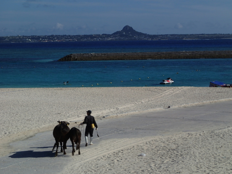 歩き人ふみの徒歩世界旅行 日本・台湾編-海に向かう牛達