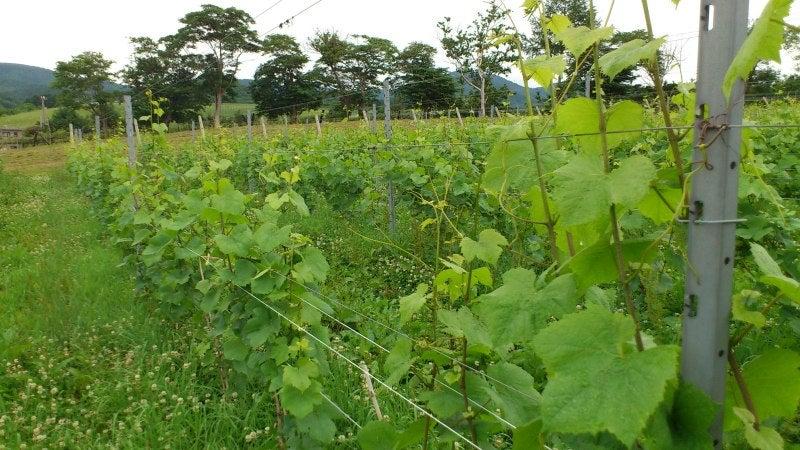 ドメーヌ・タカヒコ葡萄畑