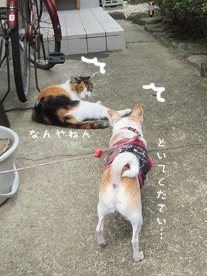へにょへにょ日記[スムースチワワ写真ブログ]-20130720チワワの小太郎