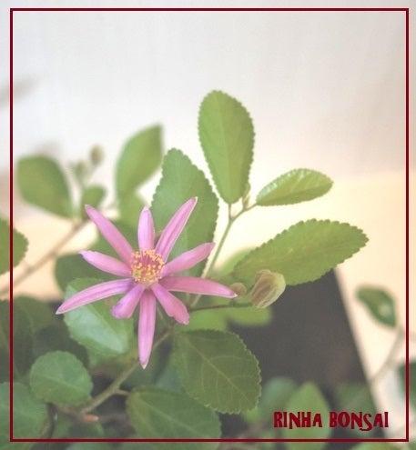 琳葉盆栽 スイレンボク