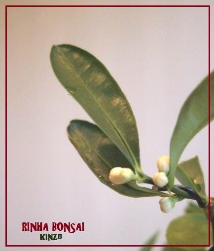 bonsai life      -盆栽のある暮らし- 東京の盆栽教室 琳葉(りんは)盆栽 RINHA BONSAI-琳葉盆栽 キンズ 金豆2