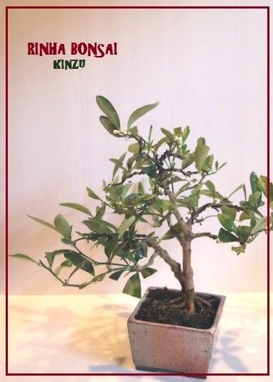 bonsai life      -盆栽のある暮らし- 東京の盆栽教室 琳葉(りんは)盆栽 RINHA BONSAI-琳葉盆栽 キンズ 金豆