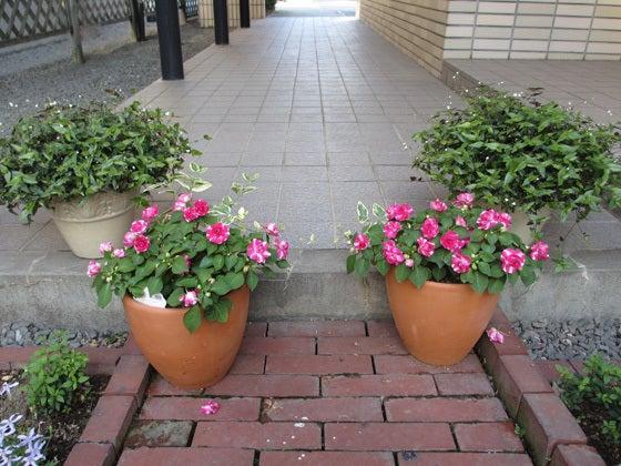 八重咲きインパチェンス&ブライダルヴェール