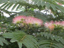 pepeのブログ-合歓の木