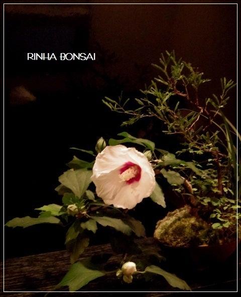bonsai life      -盆栽のある暮らし- 東京の盆栽教室 琳葉(りんは)盆栽 RINHA BONSAI-木槿 ムクゲ 琳葉盆栽