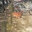 自転車置場に鹿。