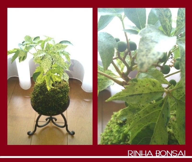 bonsai life      -盆栽のある暮らし- 東京の盆栽教室 琳葉(りんは)盆栽 RINHA BONSAI-琳葉盆栽 苔玉 アメリカツタ