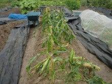 耕作放棄地を剣先スコップで畑に開拓!有機肥料を使い農薬無しで野菜を栽培する週2日の農作業記録 byウッチー-130729とうもろこし残渣を埋込み白菜の土作り01