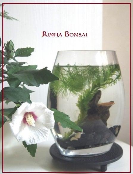 bonsai life      -盆栽のある暮らし- 東京の盆栽教室 琳葉(りんは)盆栽 RINHA BONSAI-琳葉盆栽 ムクゲ めだか