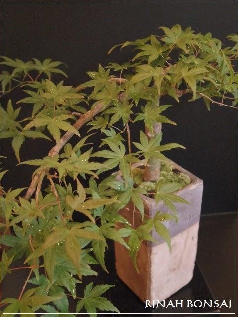 bonsai life      -盆栽のある暮らし- 東京の盆栽教室 琳葉(りんは)盆栽 RINHA BONSAI-琳葉盆栽 流泉もみじ