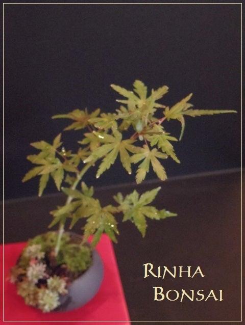 bonsai life      -盆栽のある暮らし- 東京の盆栽教室 琳葉(りんは)盆栽 RINHA BONSAI-モミジ 琳葉盆栽