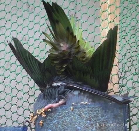 ようこそ!とりみカフェ!!~鳥カフェでの出来事や鳥写真~-生えてるサザナミ!