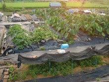 耕作放棄地を剣先スコップで畑に開拓!有機肥料を使い農薬無しで野菜を栽培する週2日の農作業記録 byウッチー-130806ウッチー式・今日の農作業の出来栄え01