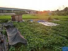 耕作放棄地を剣先スコップで畑に開拓!有機肥料を使い農薬無しで野菜を栽培する週2日の農作業記録 byウッチー-130806ウッチー式・今日の農作業の出来栄え04