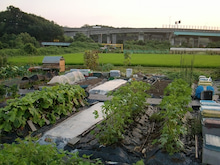 耕作放棄地を剣先スコップで畑に開拓!有機肥料を使い農薬無しで野菜を栽培する週2日の農作業記録 byウッチー-130806ウッチー式・今日の農作業の出来栄え03