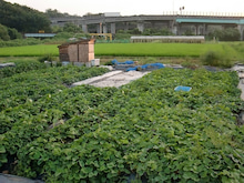 耕作放棄地を剣先スコップで畑に開拓!有機肥料を使い農薬無しで野菜を栽培する週2日の農作業記録 byウッチー-130806ウッチー式・今日の農作業の出来栄え05