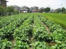 若葉マーク農園長のブログ-黒大豆圃場