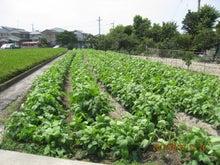若葉マーク農園長のブログ-黒大豆