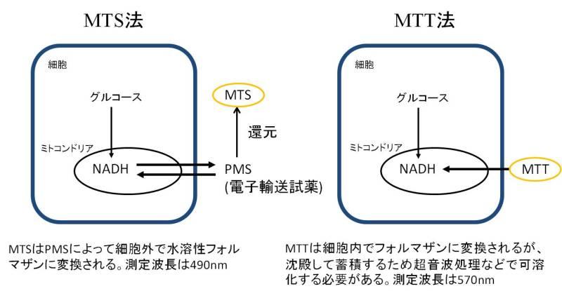 MTT試験 - MTT assay